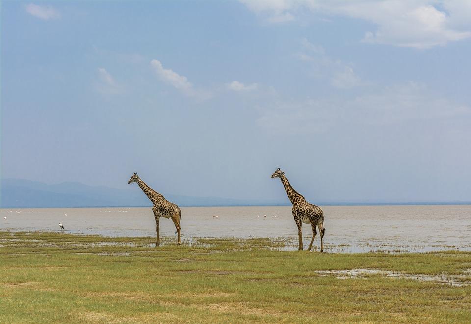giraffe-4032280_960_720