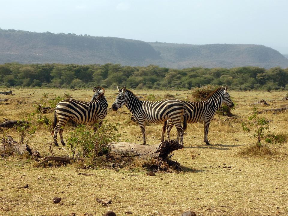 zebra-2034004_960_720