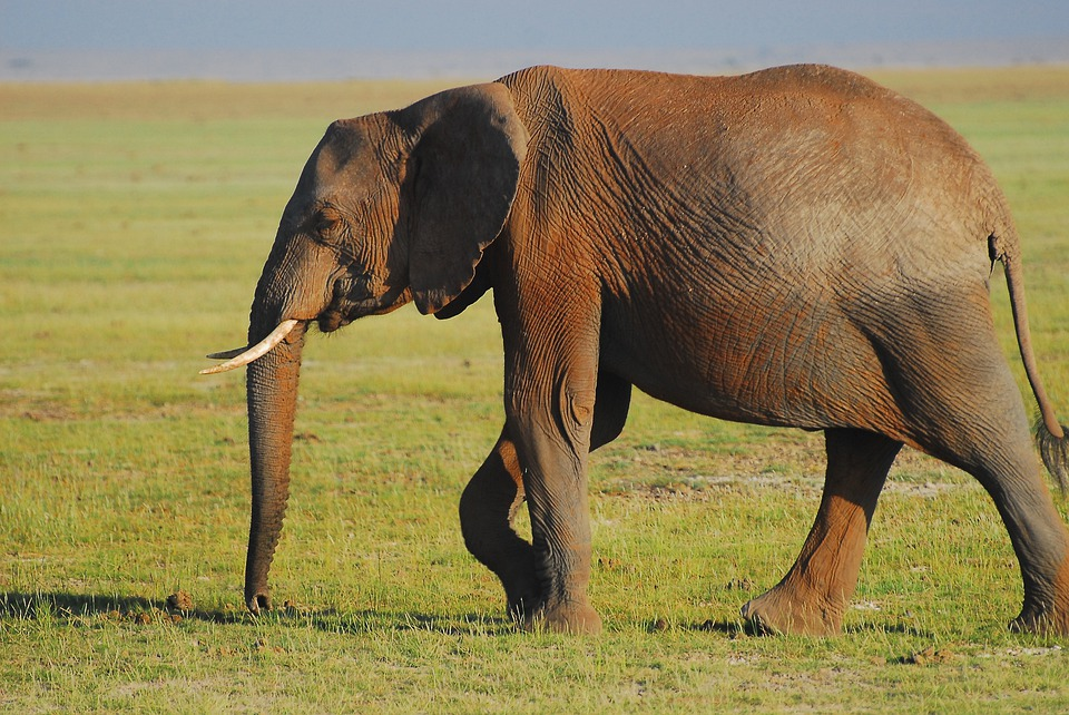 elephant-4487695_960_720